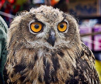 Owl, Eyes, Animal, Bird, Wildlife, Beak, Predator