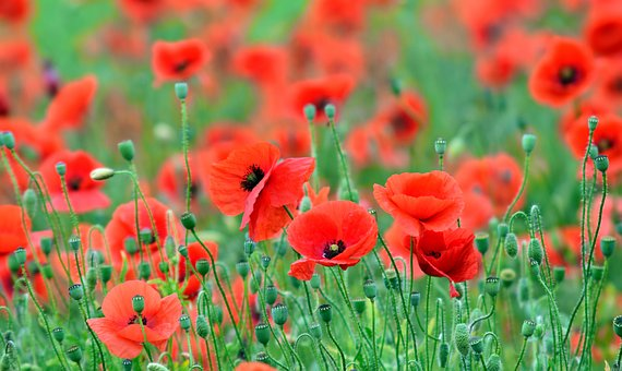 Poppy, Field Of Poppies, Red, Red Poppy, Nature