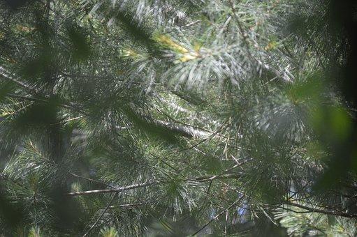 Green, Pine, Evergreen, Season, Winter, Holiday, Tree