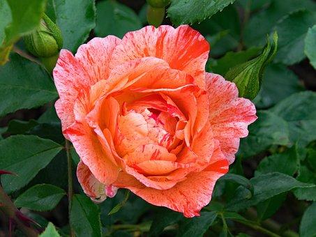 French, Rose, Grimaldi, Flowers, Pink, Red, Orange