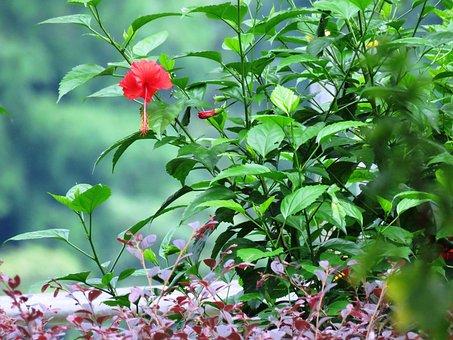 Hibiscus Rosa-sinensis, Herbal, Flower, Plant, Leaf