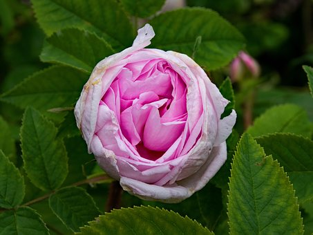 Historical, Rose, Mme, Edouard Ory, Flowers, Pink