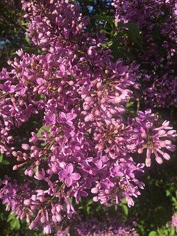 Lilac, Spring, Lilac Bush, Garden