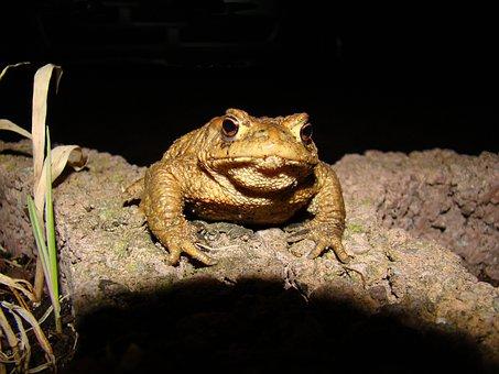 Toad, Common Toad, Moist, Nature, Animal, Amphibians