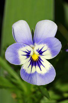 Pansy, Flower, Blue, White, Violet, Garden, Pansies