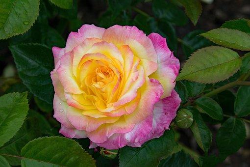 Rose, Pillnitz, Shrub Rose, Flowers, Pink, Yellow
