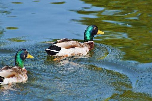 Ducks, Waterfowl, Bird, Poultry, Animal, Drake, Water