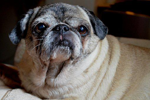 Dog, Pug, Animal, Pet, Cute, Adorable, Canine, Breed