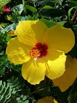 Hibiscus, Yellow, Red, Tropical, Plant, Blossom, Summer