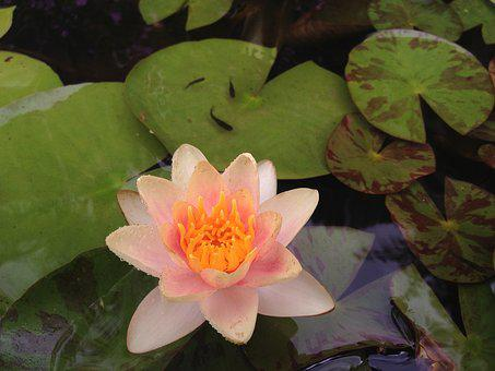Lily, Fish, Pond, Water, Nature, Garden, Plant, Green