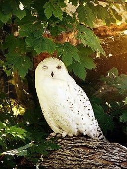 Owl, Snowy Owl, Bird, Feather, Nocturnal, White, Zoo