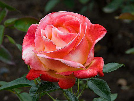 Rose, Vendée Impériale, Floribunda, Flowers, White, Red