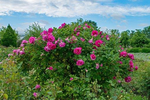 English, Rose, Wild Edric, Flowers, Pink, Blossom