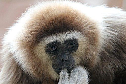White-handed Gibbon, Gibbon, Monkey, Ape, Zoo