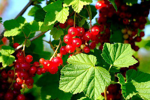 Currants, Berries, Red Currant, Fruit, Fruits