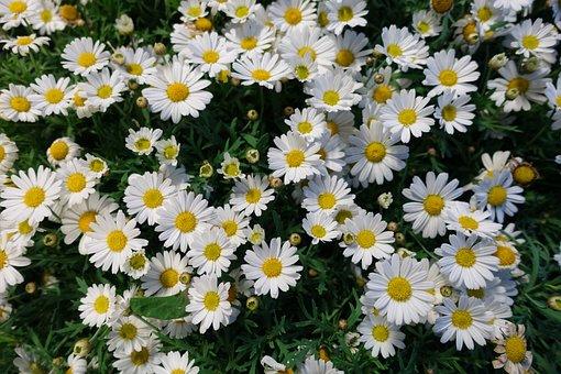 Flowers, Daisy Flower, Daisy, Floral
