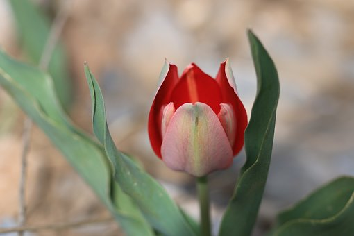 Tulips, Green, Red, Flower, Garden, Plant, Flowers