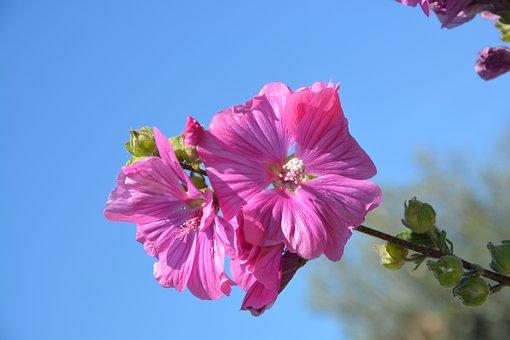 Hibiscus, Pink Flowers, Petals, Color Pink, Plant