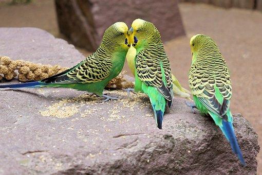 Budgie, Bird, Parakeet, Animals, Wildlife Photography