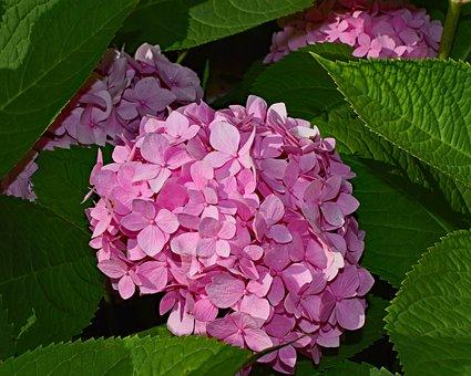 Pink Hydrangea, Shrub, Flower, Blossom, Bloom, Plant