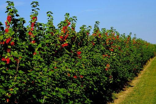 Currant Hedge, Field, Currants, Shrubs, Berries