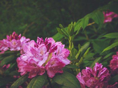 Rhododendron, Magenta, Bush, Flower, Nature, Summer