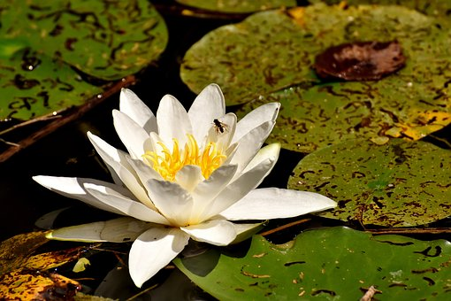Water Lilies, White, Summer, Pond Plant, Aquatic Plant