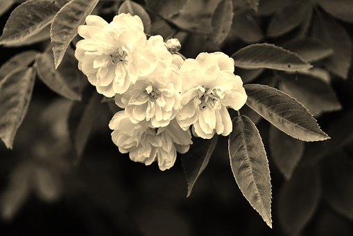 Wild Roses, Flowers, Rose, Plant, Wild, Floral, Petal
