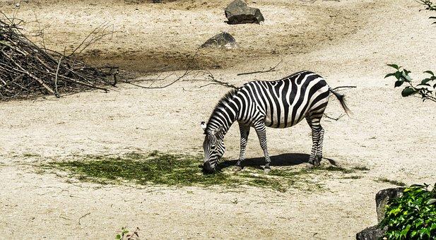 Zebra, Zoo, Animal, Zebra Crossing, Black And White