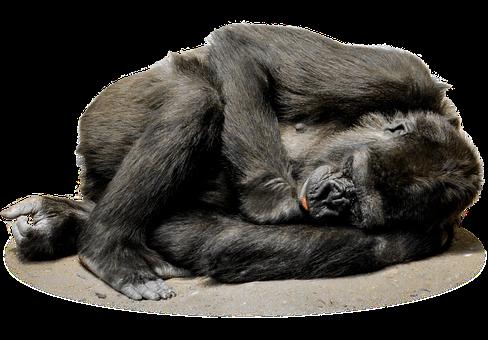 Isolated, Gorilla, Monkey, Face, Zoo, Mammal, Animal