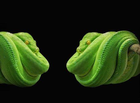 Python, Snake, Green Tree Python, Green, Tree Snake