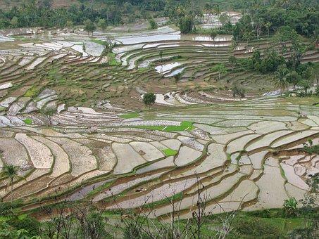 Rice Fields, Terraced, Terrace, Cultivation