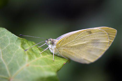 Gonepteryx Rhamni, Butterfly, Insect, Animal, Nature