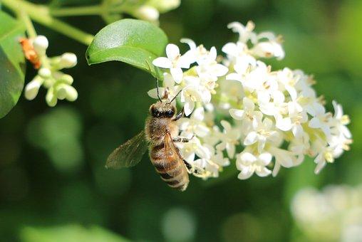 Bee, Blossom, Bloom, White, Green, White Blossom