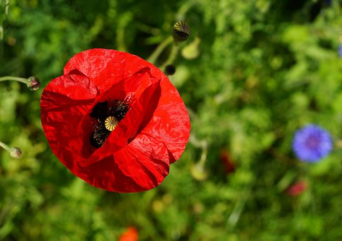 Poppy, Blossom, Bloom, Red, Flower, Klatschmohn, Nature