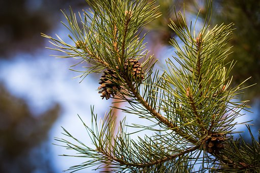 Pine Cones, Branch, Close, Tap, Pine, Tree, Conifer