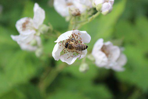 Bee, Honey, Insect, Blossom, Bloom, Collect, Nature