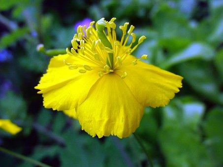 Celandine, Species Plantarum, Flower, Bloom