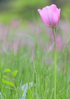 Pink, Tulip, Flower, Floral, Green, Color, Summer