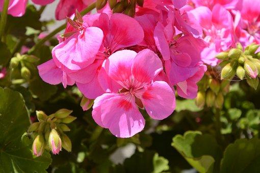 Geranium, Flowers, Pink, Nature, Spring, Jardiniere