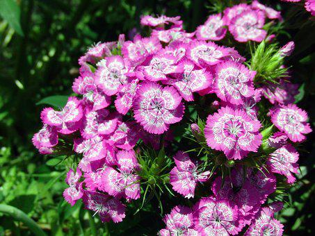 Chinese Carnation, Flower, Clove, Garden Flower, Macro
