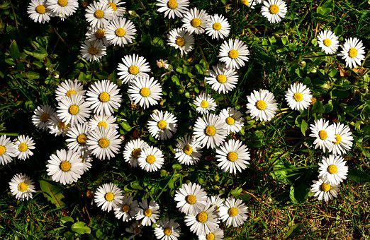 Daisy, Meadow, Flower, Spring, Flower Meadow, Nature