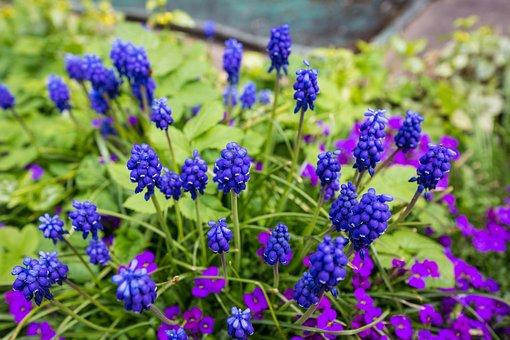 Muscari, Flower, Ornamental Plant, Blue, Spring