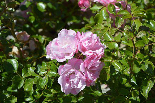 Pink, Rosebush, Garden, Flower, Petals, Small Flowers
