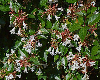 Abelia Grandiflora, Flower, Blossom, Bloom, Plant