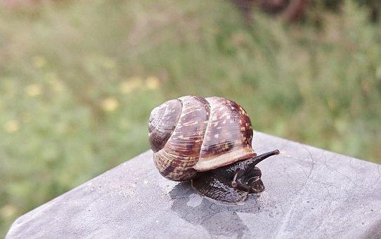 Seashell, Slug, Garden Snail, Hermaphrodites, Molluscs