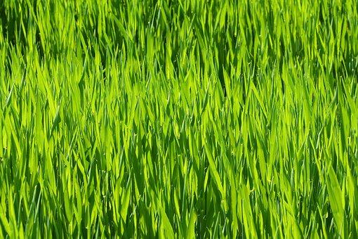 Grass, Prairie, Meadow, Chuck Meadows, Agriculture