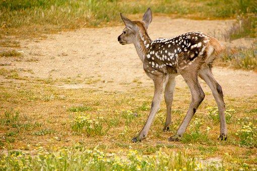 Fawn, Nature, Fauna, Animal