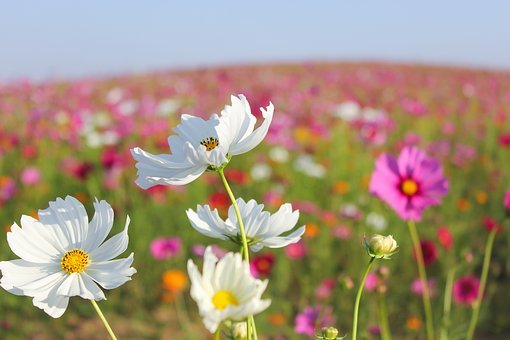 Blooming, Cosmos Flower, Autumn, Beauty In Nature
