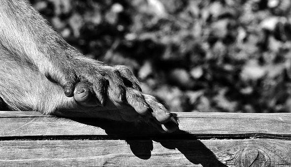 Barbary Ape, Foot, Hand, Black And White